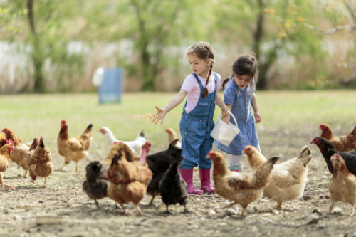 Zwei Kinder füttern Hühner